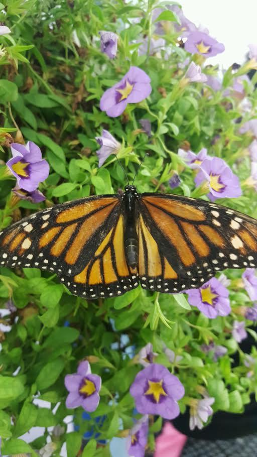 NYS Fair Butterfly