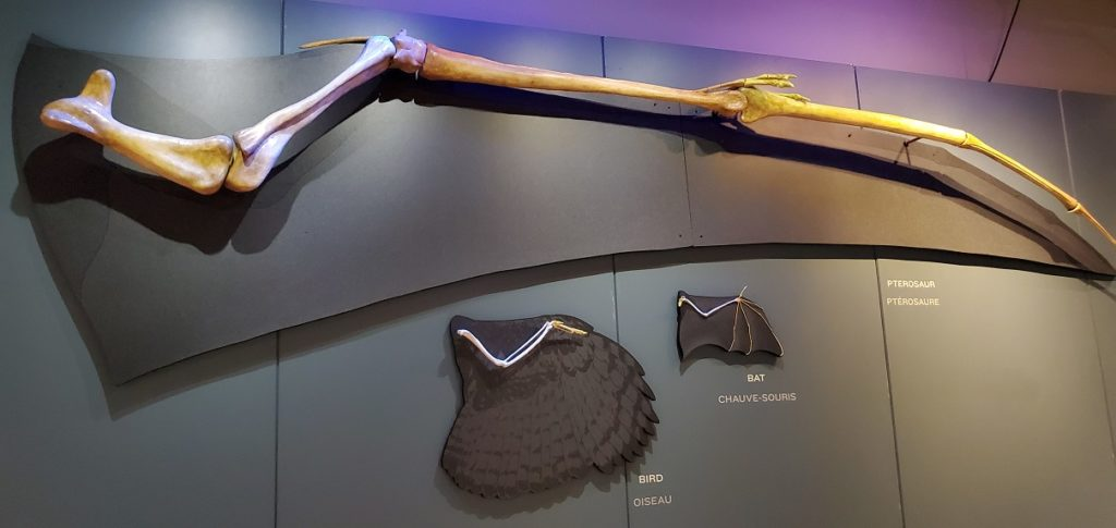 Pterosaur Exhibit Wings