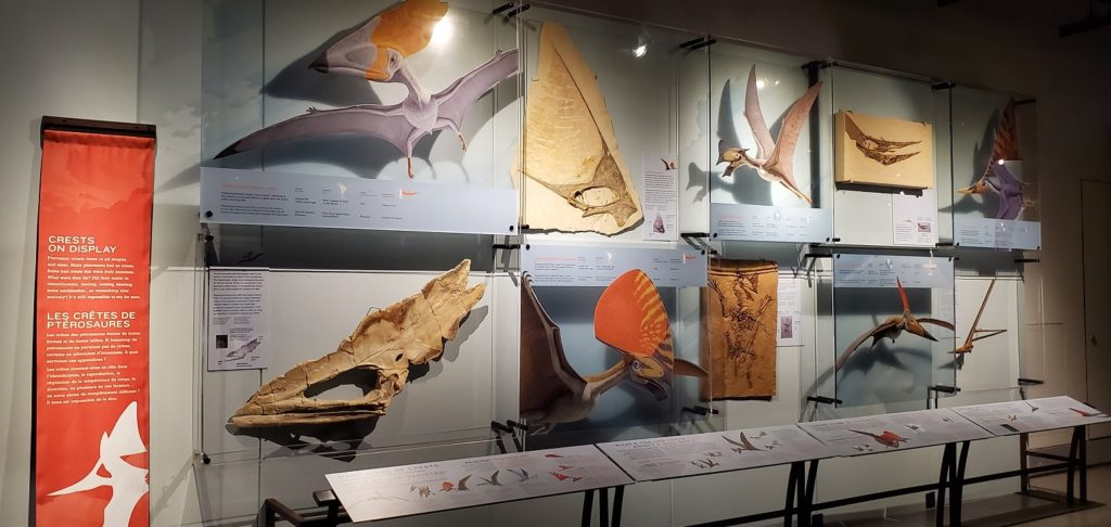 Pterosaur Exhibit crests on display