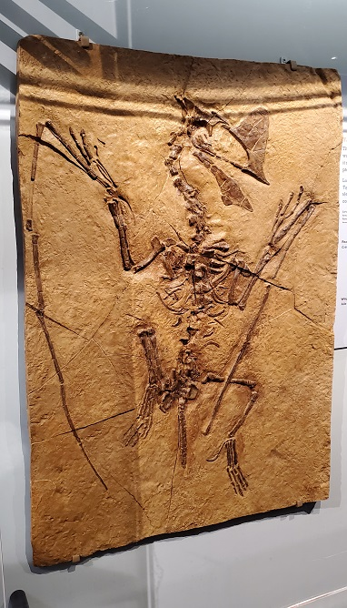 Pterosaur Exhibit fossil